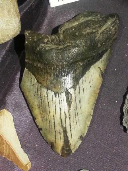 Mikmaq - Mmeglathon Tooth